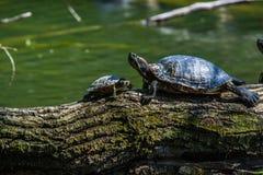 Tortugas que toman el sol en una madera de deriva Imagenes de archivo