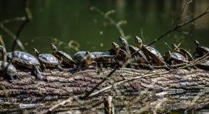 Tortugas que toman el sol en una madera de deriva Imagen de archivo libre de regalías