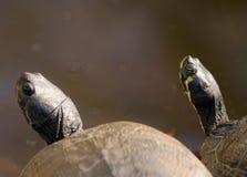 Tortugas que toman el sol en una roca caliente al lado de una charca Fotografía de archivo