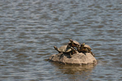 tortugas Rojo-espigadas del resbalador que toman el sol en roca Imagen de archivo libre de regalías