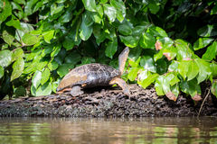 Tortuguero, Costa Rica, wild turtles. stock photos
