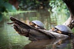 Tortuguero, Costa Rica, wilde schildpadden Stock Afbeeldingen