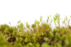 Tortula Muralis Moss Macro on White Background with Copy Space Royalty Free Stock Photos