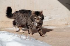 Tortured and listless cat walks the ground near the snow.  Royalty Free Stock Photo