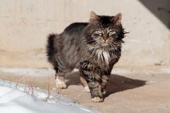 Tortured and listless cat walks the ground near the snow.  Royalty Free Stock Images