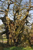 Tortworth Chestnut Tree Royalty Free Stock Images