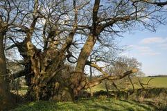 Tortworth Chestnut Tree Stock Photo