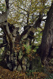 Tortworth det kastanjebruna trädet Arkivbilder