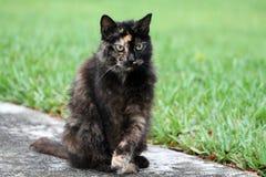Torty猫画象 免版税库存图片