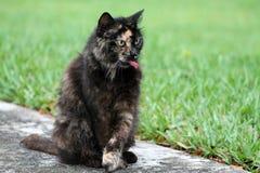 Torty猫画象 免版税图库摄影