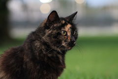Torty cat portrait. Portrait of female torty cat, south Florida Stock Images