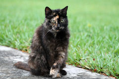 Torty cat portrait. Portrait of female tortie cat full body sitting up with front legs crossed, south Florida. sitting on sidewalk by lawn Royalty Free Stock Images