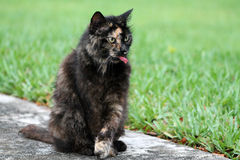 Torty cat portrait. Portrait of female tortie cat full body sitting up with front legs crossed while sticking tongue out, south Florida. sitting on sidewalk by Royalty Free Stock Photography