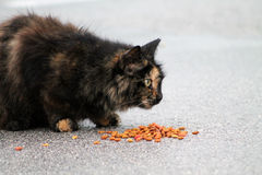 Torty cat on wet pavement. Female torty cat eating on wet parking lot pavement. south Florida Royalty Free Stock Photography