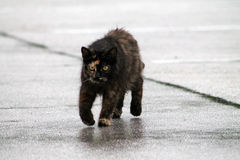 Torty cat on wet pavement. Female torty cat standing on wet parking lot pavement. south Florida Stock Images