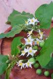 Torvum do Solanum com grupo da flor Fotografia de Stock