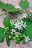 Torvum Solanum с пуком цветка Стоковые Изображения