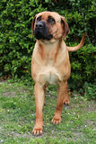 Tosa inu bandog against green natural background Royalty Free Stock Photography