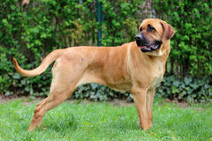 Tosa inu bandog posing against green natural background Royalty Free Stock Images