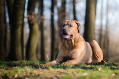 Tosa inu dog. In forrest in spring time Royalty Free Stock Image