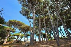 Toscânia, Italy, pinhos no golfo de Baratti foto de stock