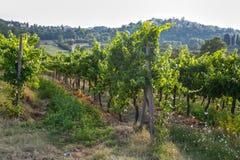 Toscaanse Wijngaard royalty-vrije stock foto's