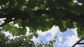 Toscaanse wijngaard 4 stock videobeelden