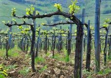 Toscaanse wijngaard in de lentetijd Stock Afbeelding