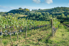 Toscaanse wijngaard de vroege herfst met rij van druiven royalty-vrije stock afbeeldingen