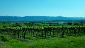 Toscaanse Wijnstokken met een Achtergrond van de Bergen Stock Foto