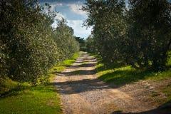 Toscana. Tuscany landscape with olives trees Stock Images