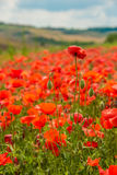 Toscana's poppies Stock Images