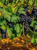 Toscana vineyards, Italy, grape harvest Royalty Free Stock Photos