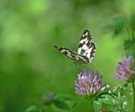 Toscanië, Italiaanse vlinder, melanargiagalathea, zuigt nectar van een klaverbloem royalty-vrije stock afbeeldingen