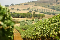 Toscany vineyard landscape Royalty Free Stock Photo