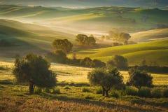Toskańscy drzewa oliwne i pola w terenie Siena, Włochy Fotografia Royalty Free