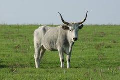 Toskańska krowa Zdjęcia Stock