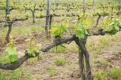 Toskana-Weinberg auf Frühling lizenzfreies stockfoto