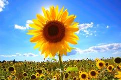 Toskanische Sonnenblume Lizenzfreie Stockfotografie