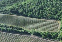 Toskanischer Weinberg von weit Lizenzfreie Stockbilder