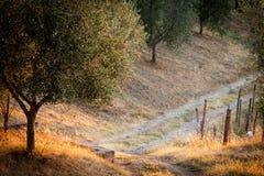 Toskanisches Land mit Olivenbaum am Sonnenaufgang stockfotografie