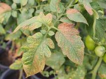 Tospovirus in bitter tomato. Royalty Free Stock Images