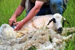 Tosquia de ovinos Fotografia de Stock