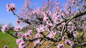 Tot bloei gekomen amandelboom die in de wind slingeren stock footage