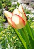 Tot bloei gekomen gekleurde tulp Royalty-vrije Stock Afbeeldingen