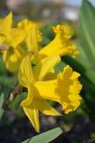 Tot bloei gekomen gele narcissen Stock Afbeelding