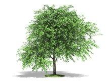 Tot bloei gekomen kersenboom Royalty-vrije Stock Fotografie