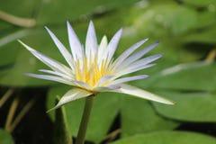 Tot bloei gekomen lotusbloembloem op het meer stock foto