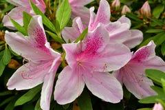 Tot bloei gekomen Roze Lelie stock foto's