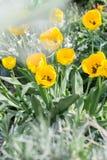 Tot bloei gekomen tulpen Stock Foto's
